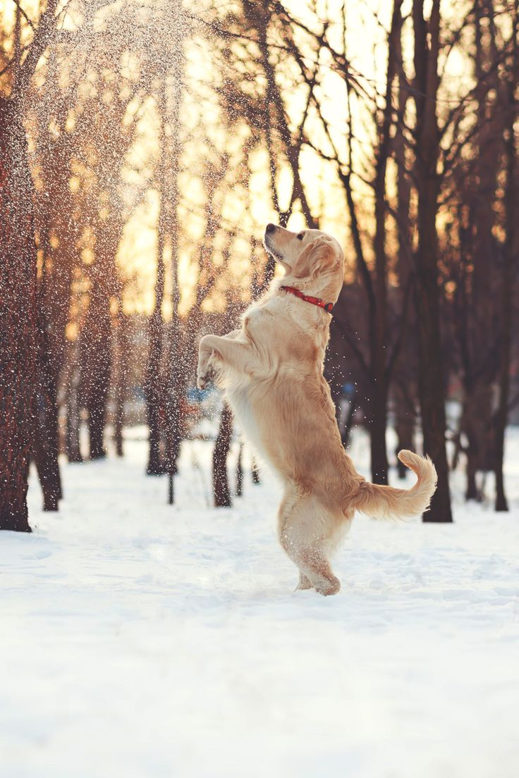 playing-snow-dog-golden